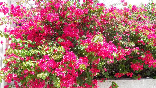 Бугенвилия краси балкона