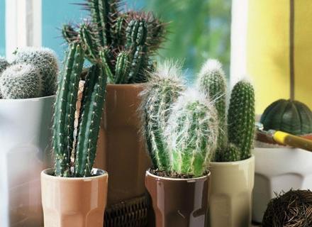 Зимни грижи за кактусите