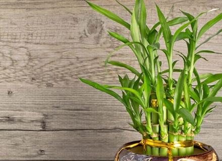 Бамбук на щастието - талисман на дома