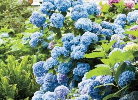 Хортензия краси градината