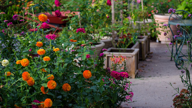 Циния - пъстрота в лятната градина