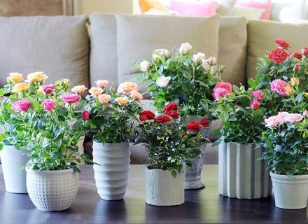 Защо не цъфтят растенията у дома