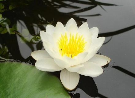 Водна лилия (Nymphaea hybrida)