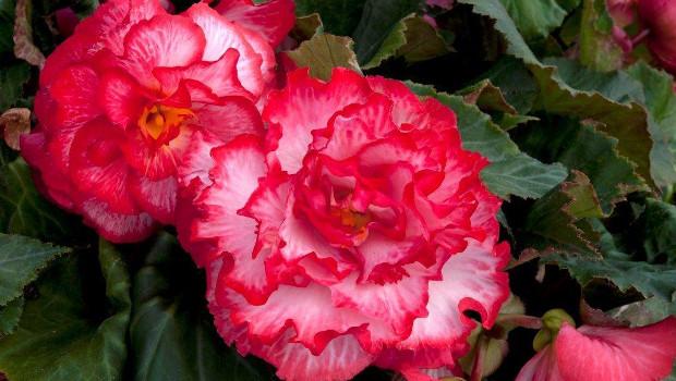 Бегония, грудкова (Begonia knollenbegonien)