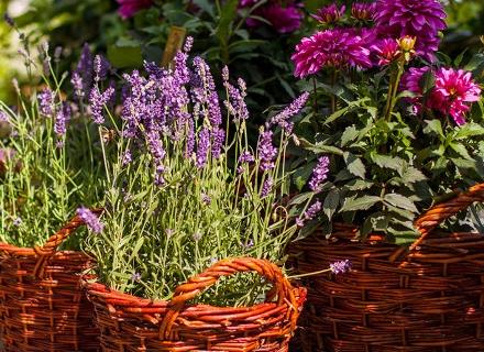 Кога са най - ароматни растенията