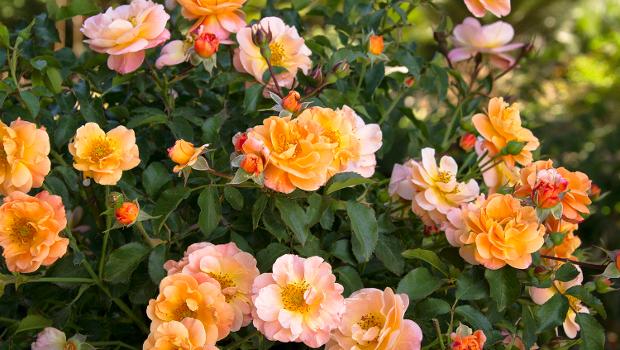 Как се размножават рози чрез зелени резници