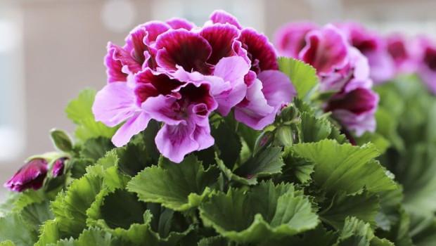 Английско мушкато (Pelargonium grandiflorum)