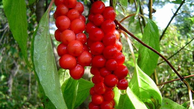 Шизандра, китайски лимонник (Schizandrae chinesis)