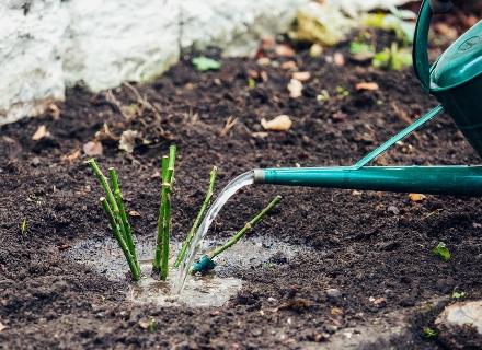 Засадете розата през октомври за да цъфне през май
