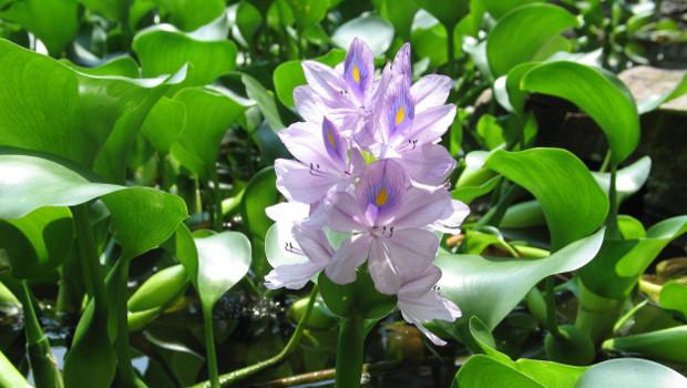 Воден хиацинт, Воден зюмбюл, Ейхорния (Eichhornia crassipes)