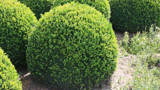 Чемшир (Buxus sempervirens)