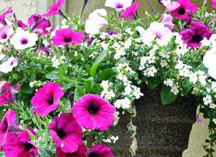 Как се съчетават цветята в саксия