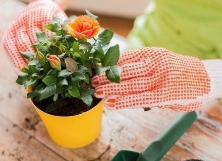 Грижи за балконските рози