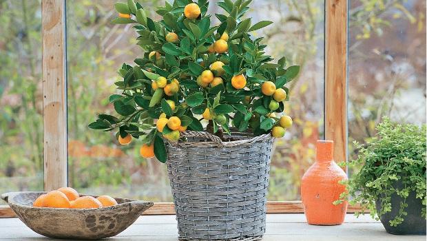 Екзотични плодове, отглеждани като стайни растения