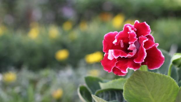 Каменно цвете, Глоксиния