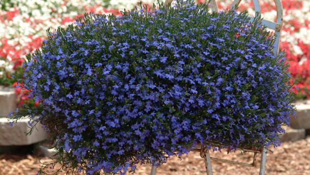 Семената на лобелията се засаждат през февруари