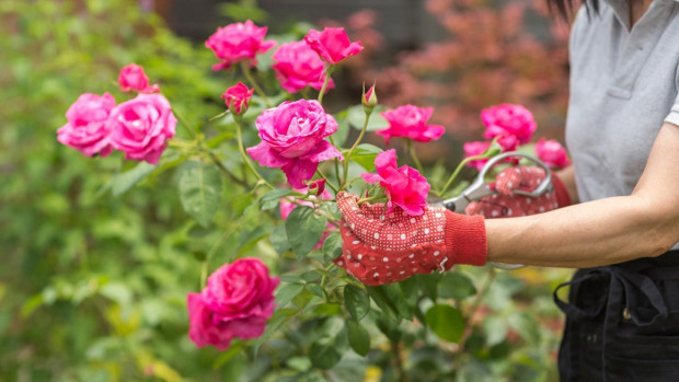 Как да се грижим за розите през пролетта