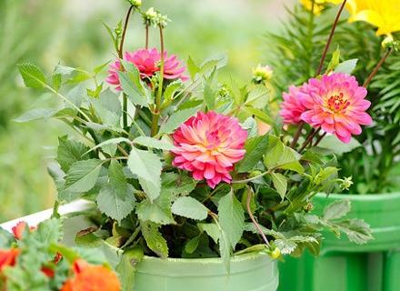 Подхранване на цветята с натурални продукти - лесно и безопасно