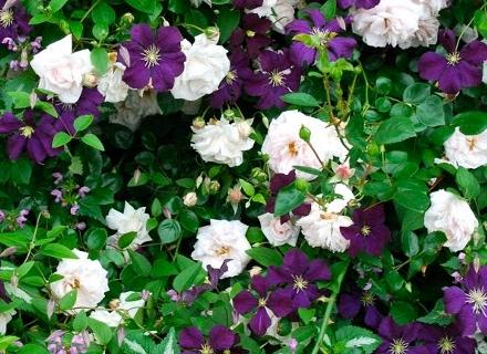 Съчетание на клематис и катерлива роза
