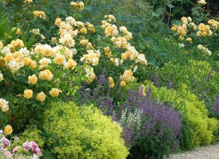 С кои растения да съчетаем розите