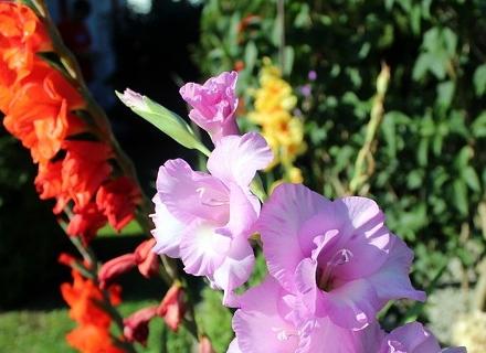 С кои растения да комбинираме гладиолите