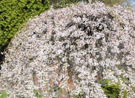 Дървета с плачеща корона, подходящи за градина