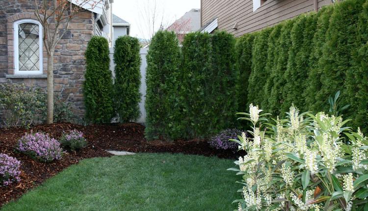 Бързорастящи храсти, подходящи за зелени огради