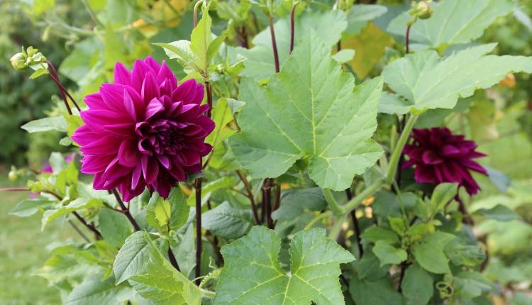 Как да отгледаме едногодишни далии от семена