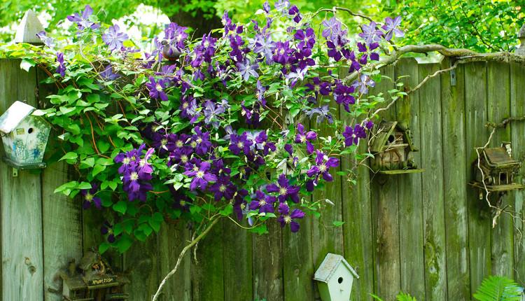 Клематис - царят на увивните растения