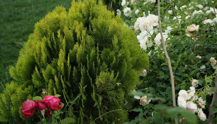 Как да се грижим за иглолистните дървета и храсти в градината