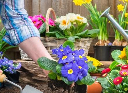 През юли и август подгответе разсадите от летни цветя