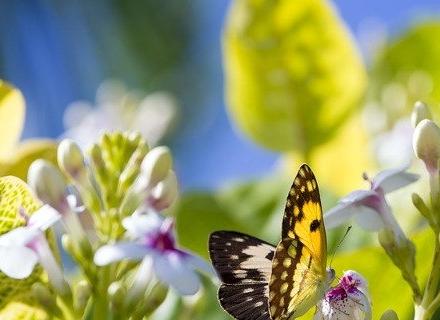 Растения, които привличат пеперуди в градината
