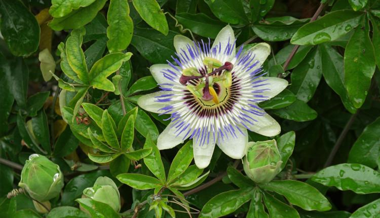 Пасифлора - екзотичното цвете на страстта