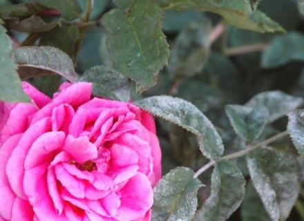 Прясното мляко се бори с брашнестата мана по розите