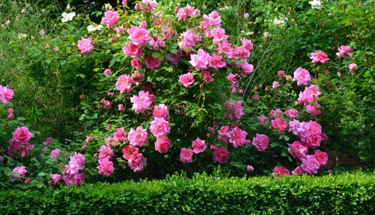 Най - разпространените грешки при отглеждането на рози в градината