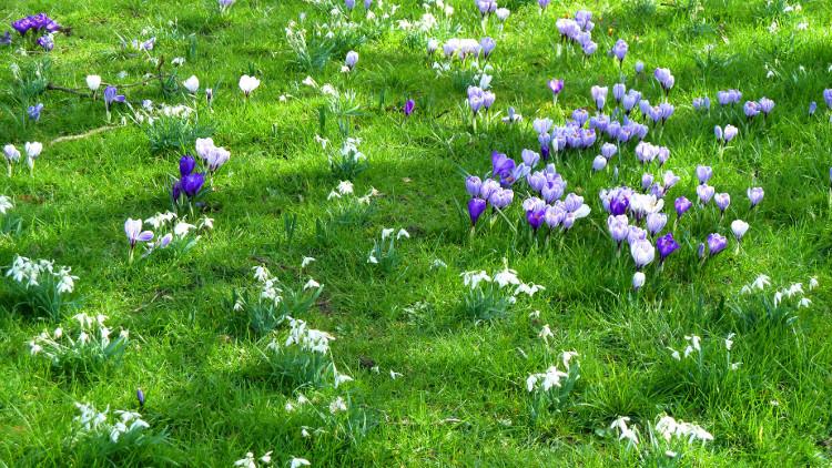 Натурализиране на луковици в тревните площи