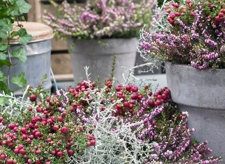 Декоративни храсти красят балкона през зимата