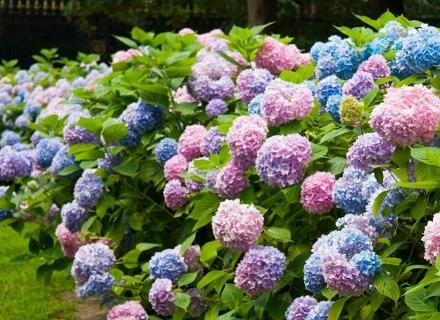 Растения за смесени и неподрязвани живи плетове