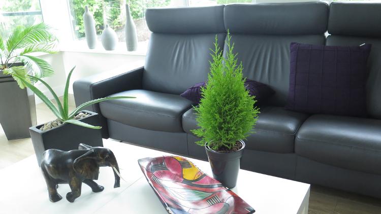 Лимонов кипарис освежава и пречиства въздуха у дома