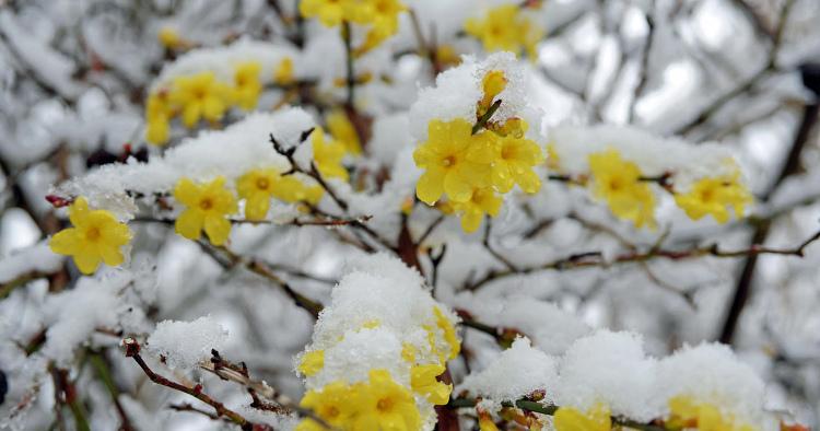Цъфтящи храсти за красива зимна градина