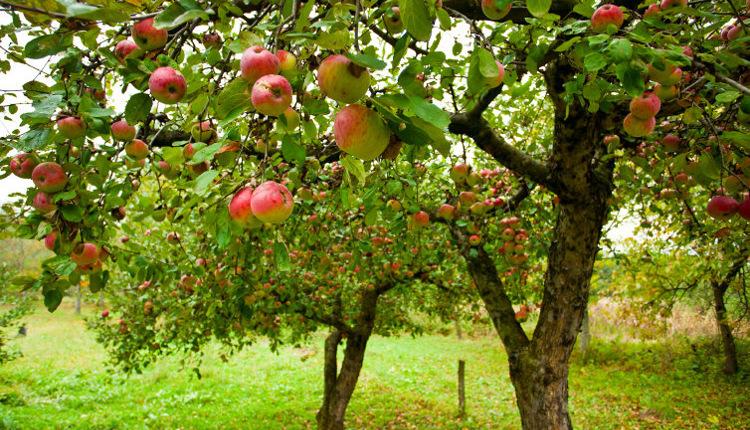 Как да предпазим овошките от зимуващи вредители