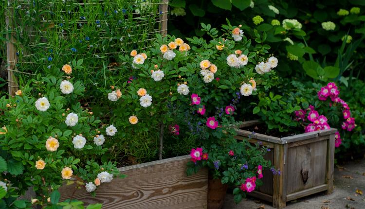 Зазимяване на външните саксийни растения