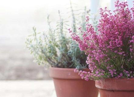Цветята, които могат да останат на балкона и през зимата
