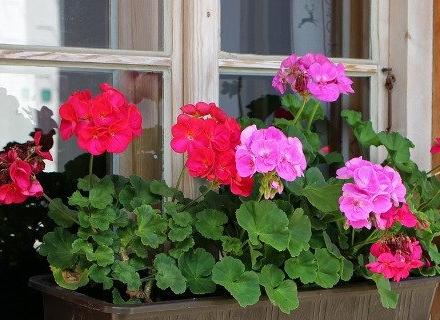 Цветя за западен прозорец