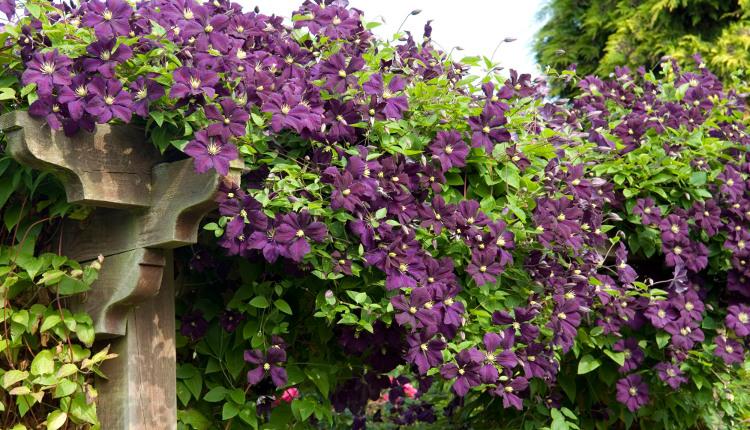 Катерливи растения за градината