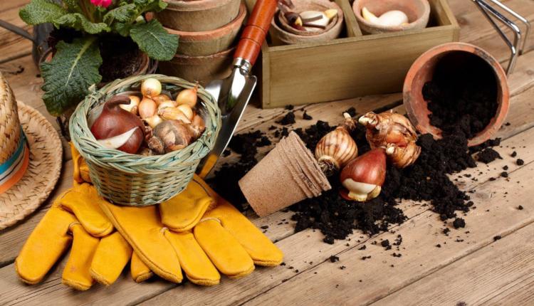 Как да съхраняваме луковиците на гладиолите през зимата