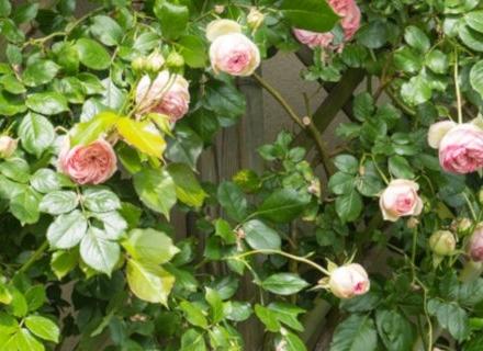 7 често допускани грешки при отглеждане на рози