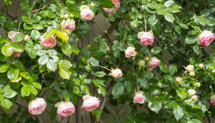 5 често допускани грешки при отглеждане на рози