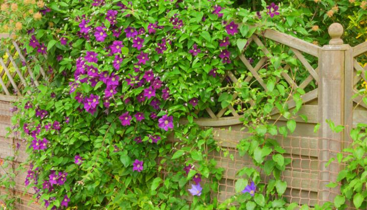 Бързорастящи лиани, подходящи за покриване на ограда