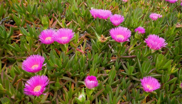 Карпобротус - красиво, малко познато растение